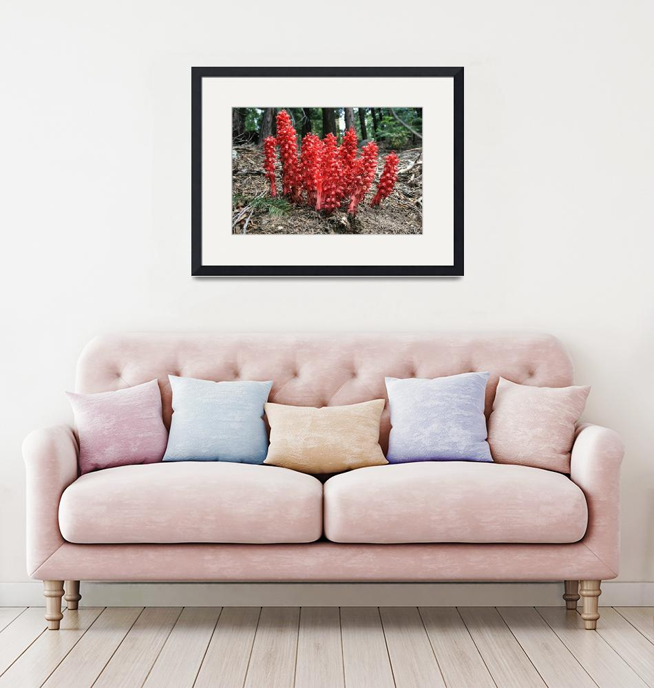 """""""Lots and Lots of Snow Plants""""  by Isolino"""