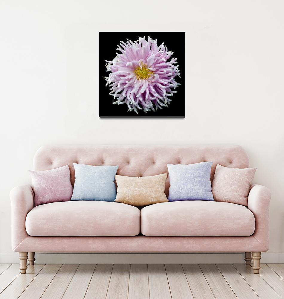 """""""Pink Anemone Dahlia""""  (2009) by RussMartinPhotography"""