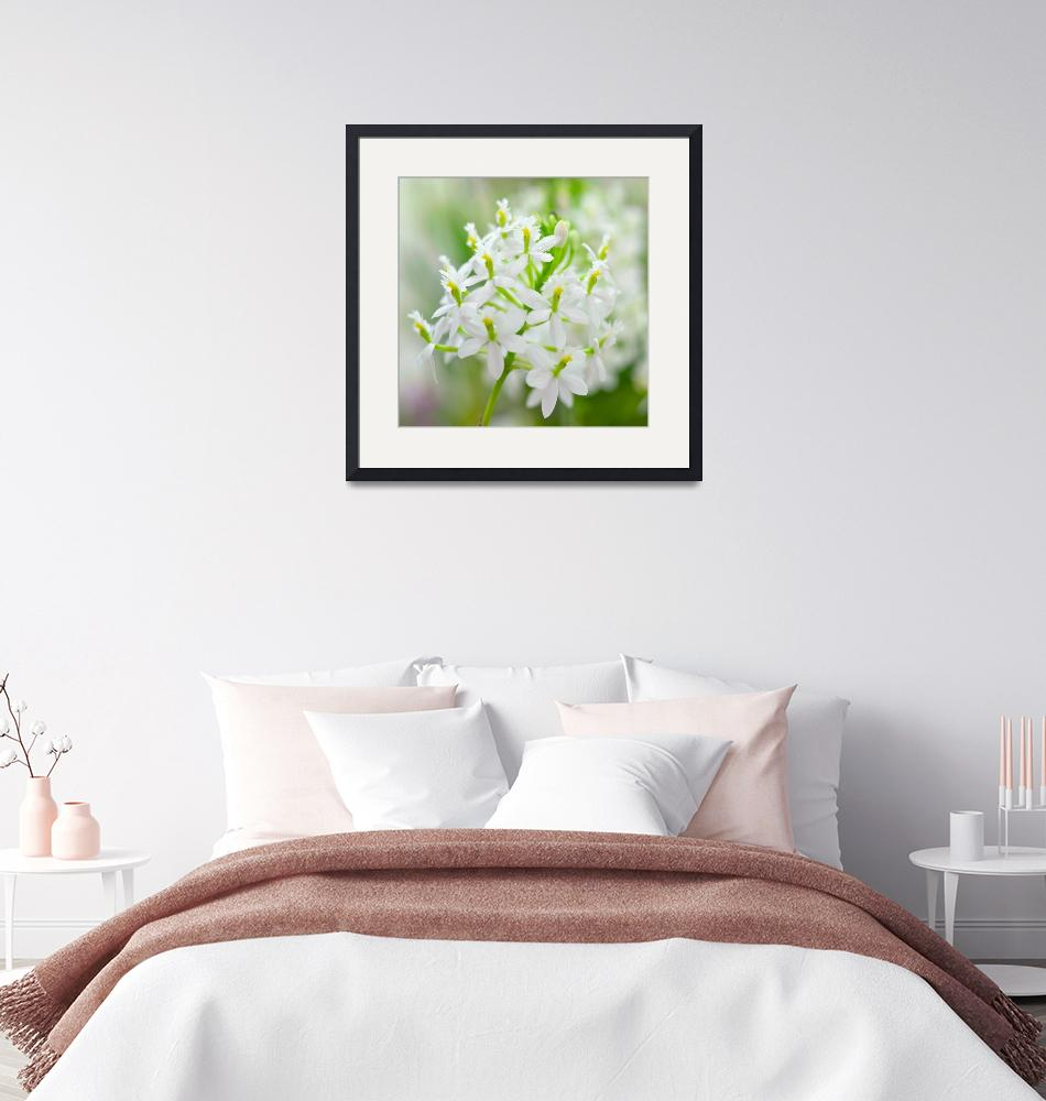 """""""White Epidendrum""""  (2010) by ImageArt-Photography"""