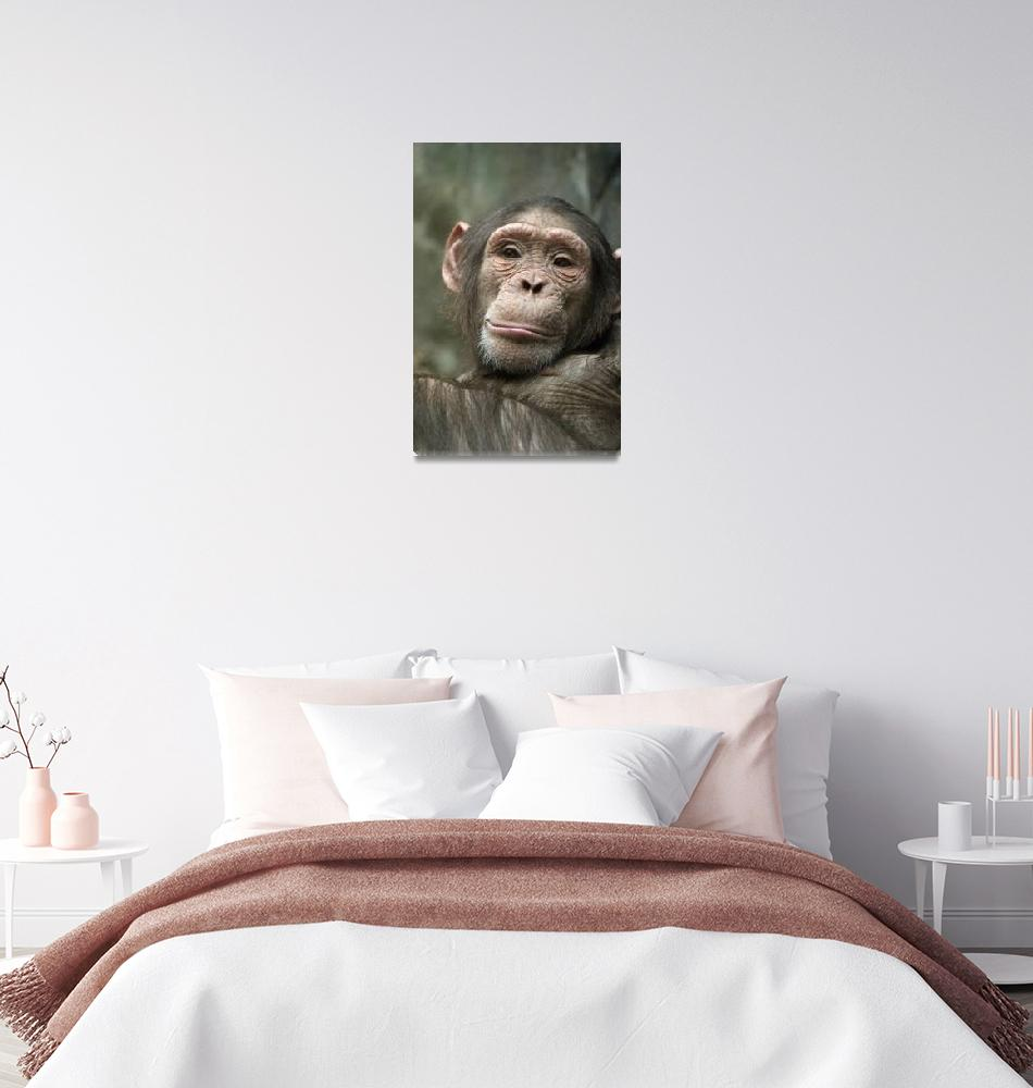 """chimp portrait""  (2013) by martynb1"