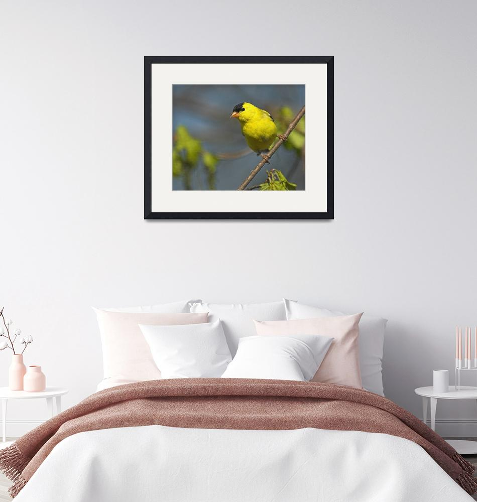 """American Goldfinch""  by tricia"