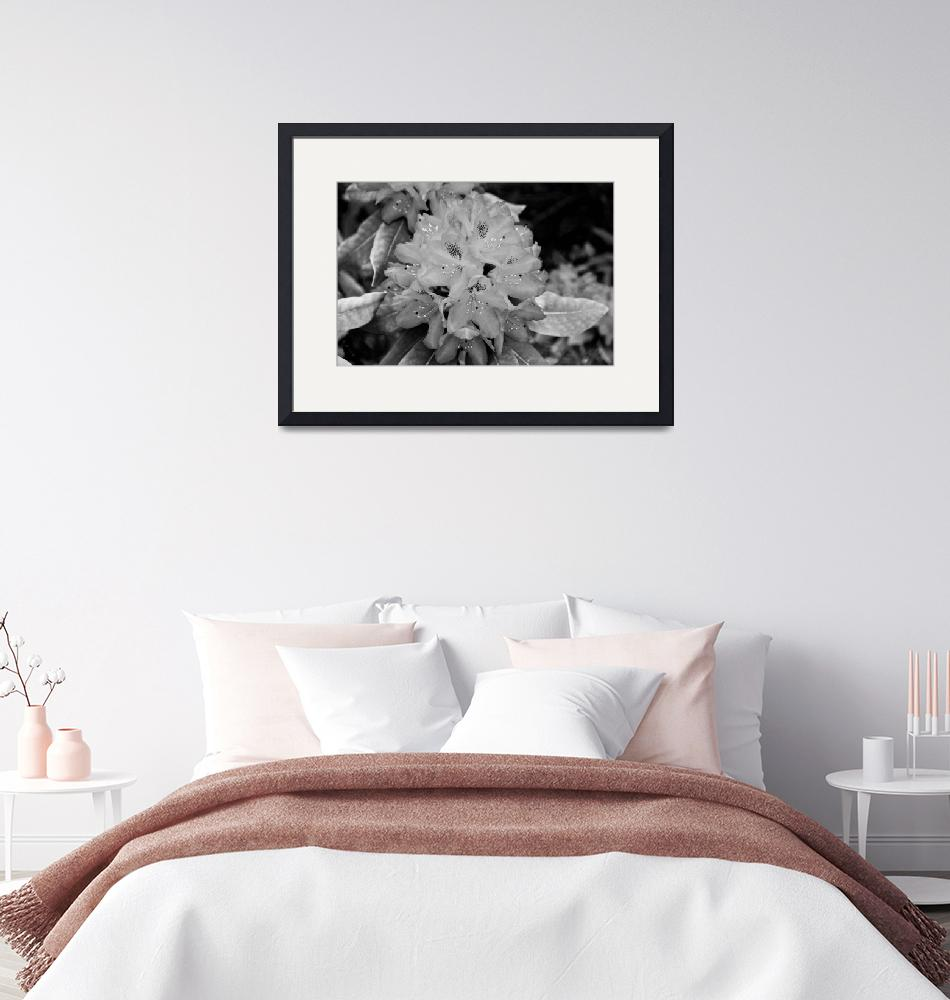 """""""Rhododendron (B&W)"""" (2010) by mchenderson"""