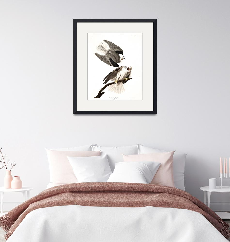 """Black Winged Hawk, Plate 352""  by FineArtClassics"