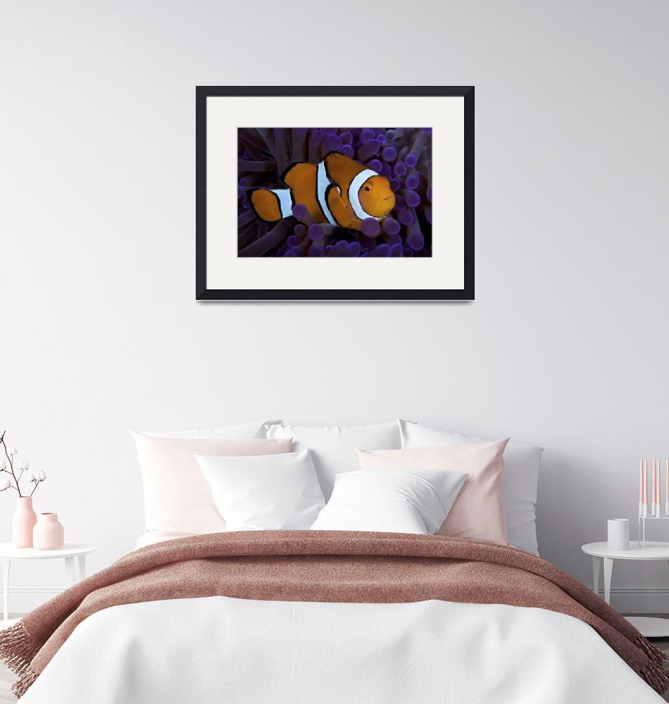 """""""False Ocellaris Clownfish in its host anemone, Pap""""  by stocktrekimages"""