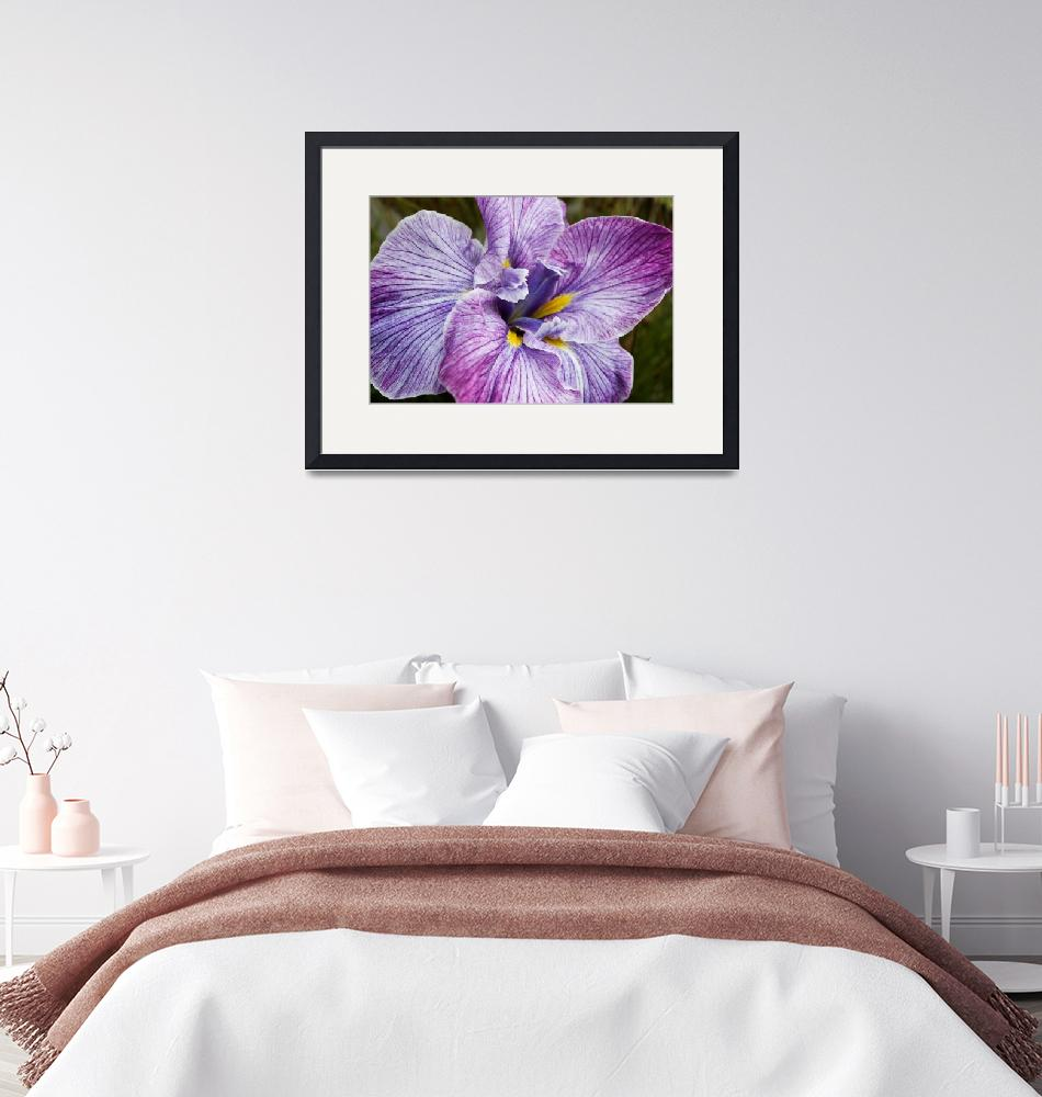 """Japanese Iris""  (2009) by Sonja"