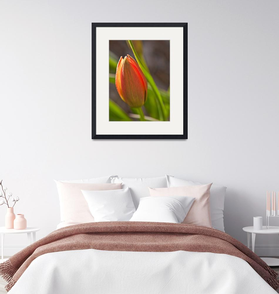 """""""Sunny Tulip""""  (2010) by seeded-earth-photography"""