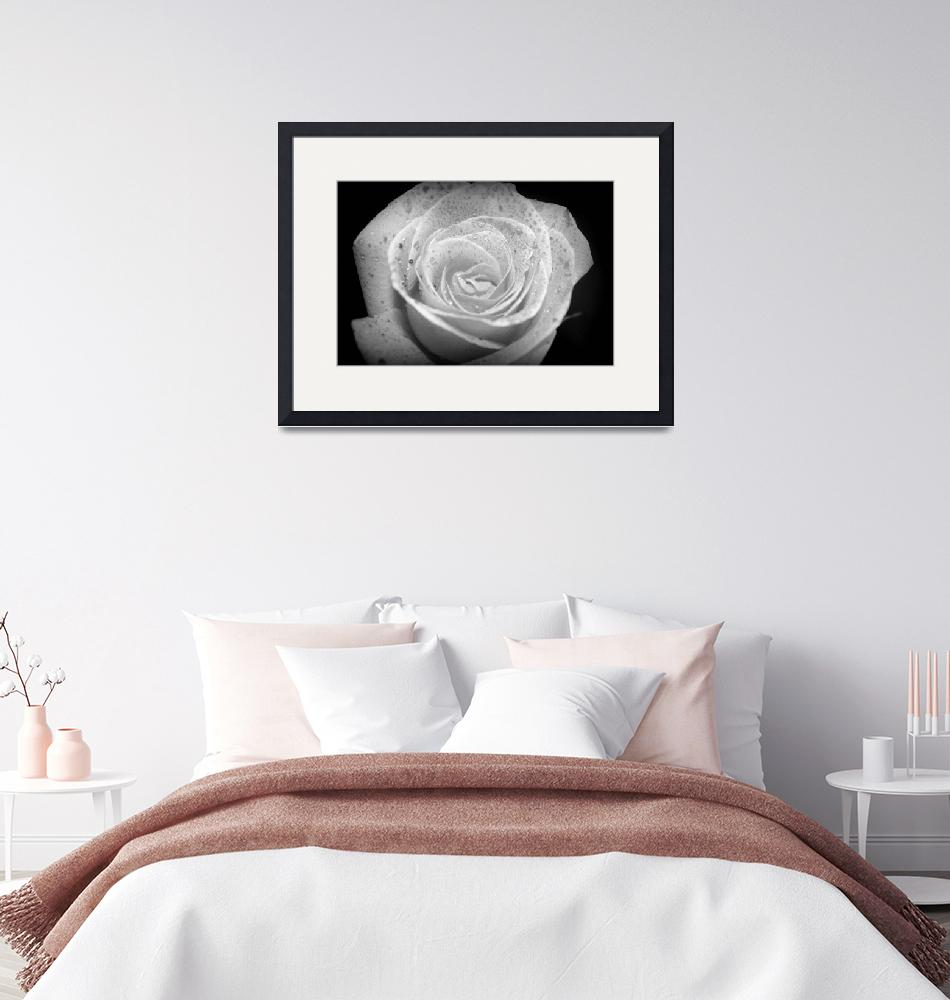 """Black and White Rose""  by KLCPhotoMT"