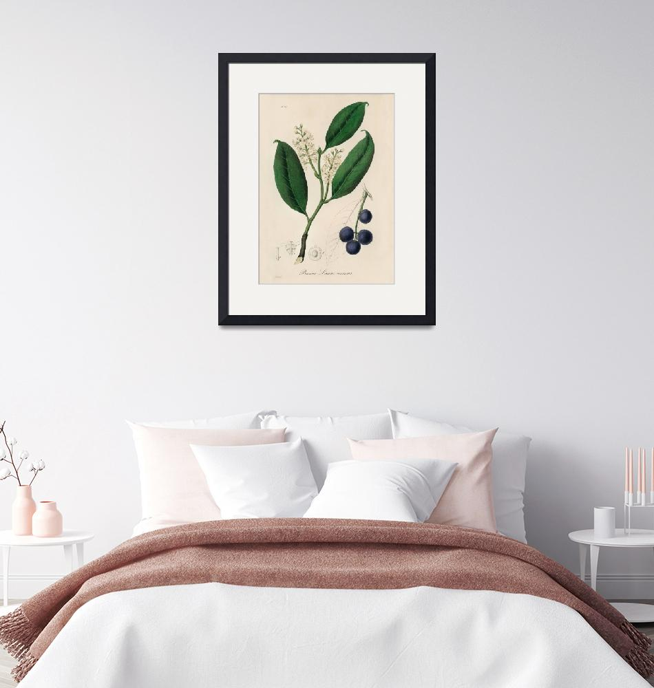 """Vintage Botanical Cherry Laurel""  by FineArtClassics"