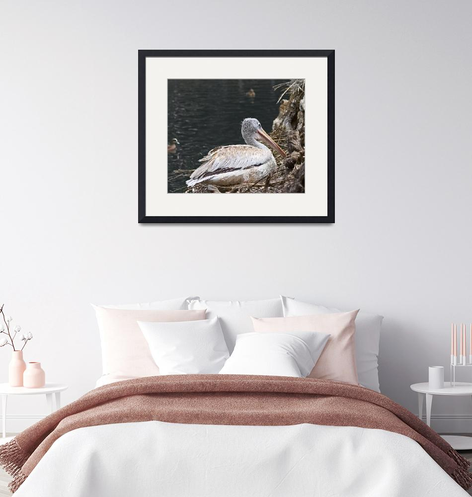"""Pink-Backed Pelican (0058)""  (2008) by johncorney"