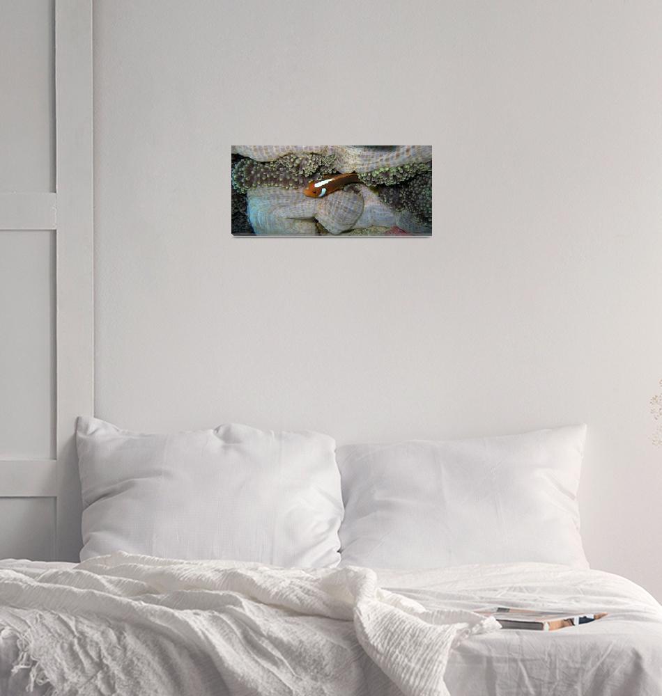 """""""white bonnet clownfish""""  by Mac"""