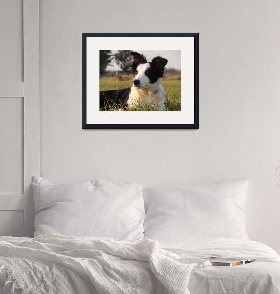 """""""Border Collie""""  (2010) by inkarts"""