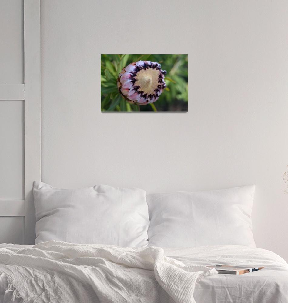 """Protea neriifolia""  (2010) by Sonja"