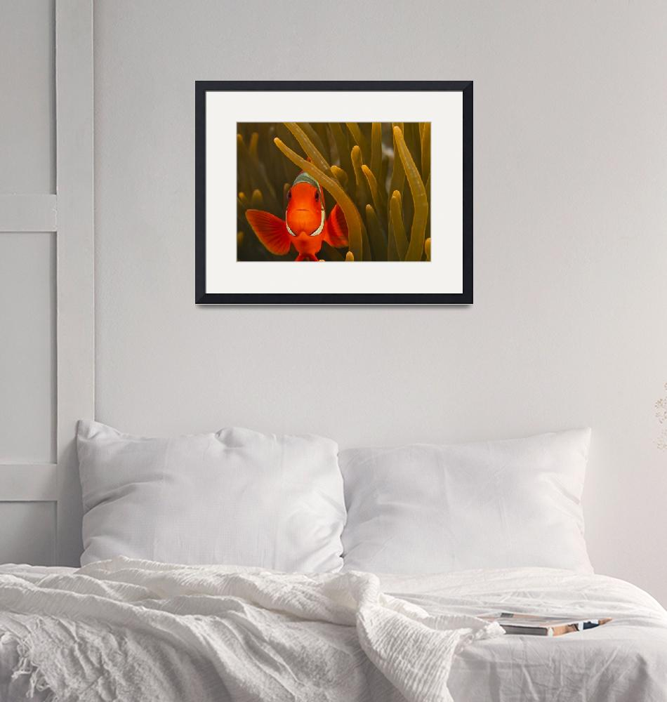 """""""Clown Fish and Anemone""""  (2012) by flyingpanther"""