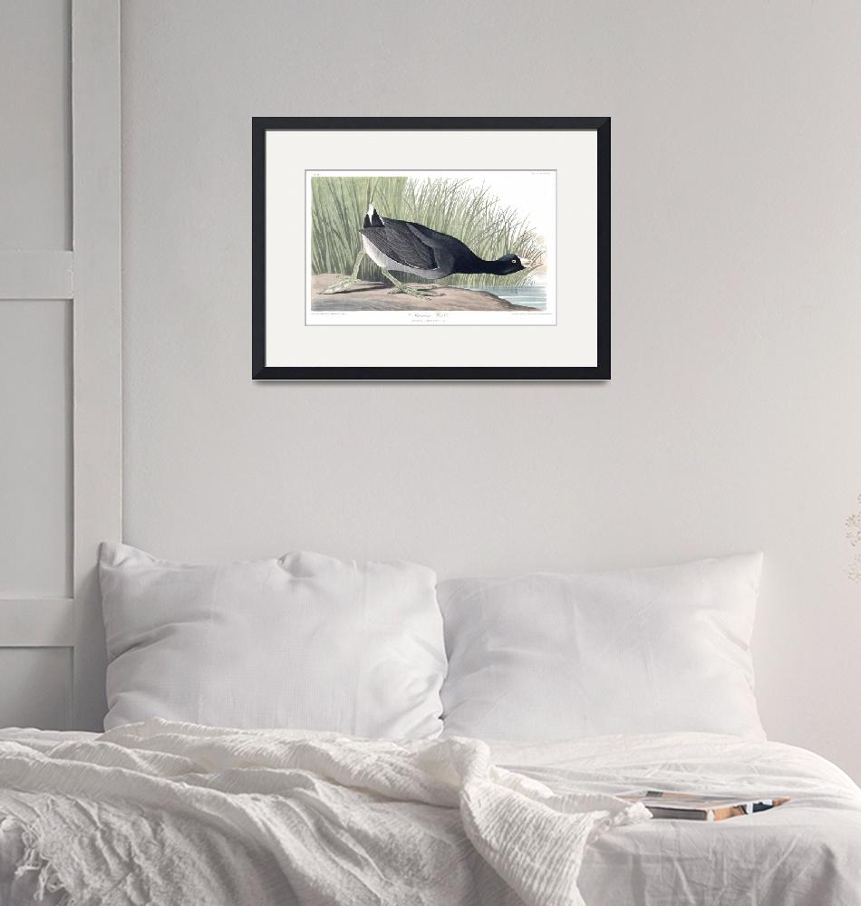 """""""American Coot, Plate 239""""  by FineArtClassics"""