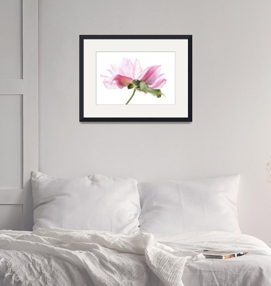 """""""Lady Gilmour Anemone""""  (2007) by AnnG"""