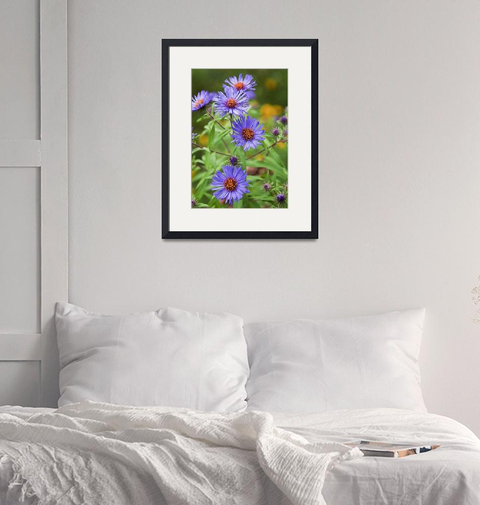 """""""Purple Asters""""  (2009) by MichaelStephenWills"""