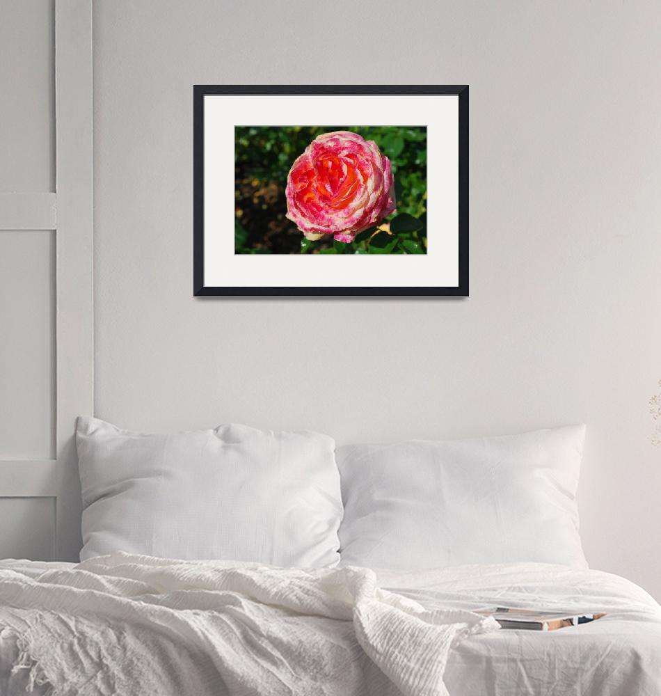 """""""multi color rose""""  (2008) by Steve_Wolf"""