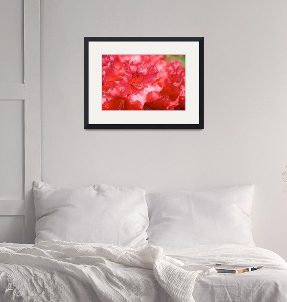 """""""Red Rhododendron""""  (2008) by ianclasper"""