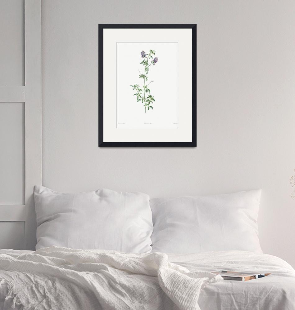 """""""Spanish Clover Vintage Botanical""""  by FineArtClassics"""