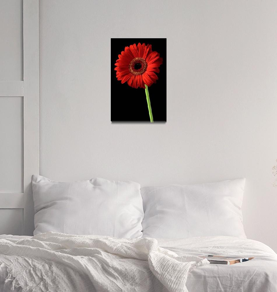 """""""Red gerber daisy flower on black background""""  by Morganhowarth"""