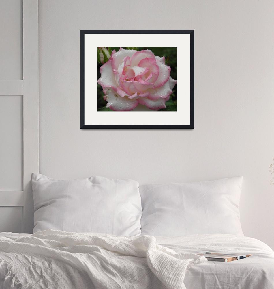 """""""rose 12""""  (2010) by sb1photography"""