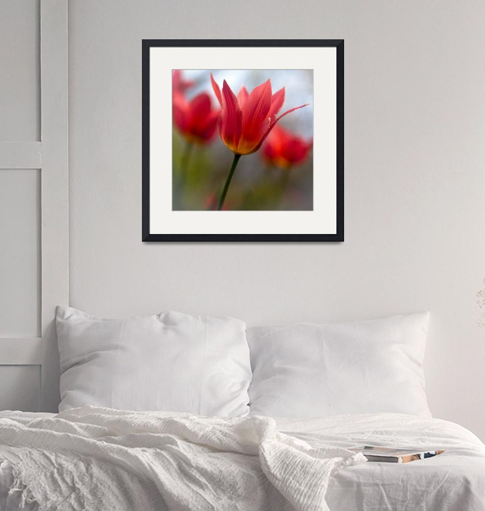 """""""Red tulips""""  (2009) by byvalet"""