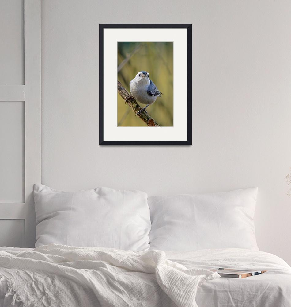 """""""White Breasted Nuthatch Front View""""  (2010) by LauraM"""