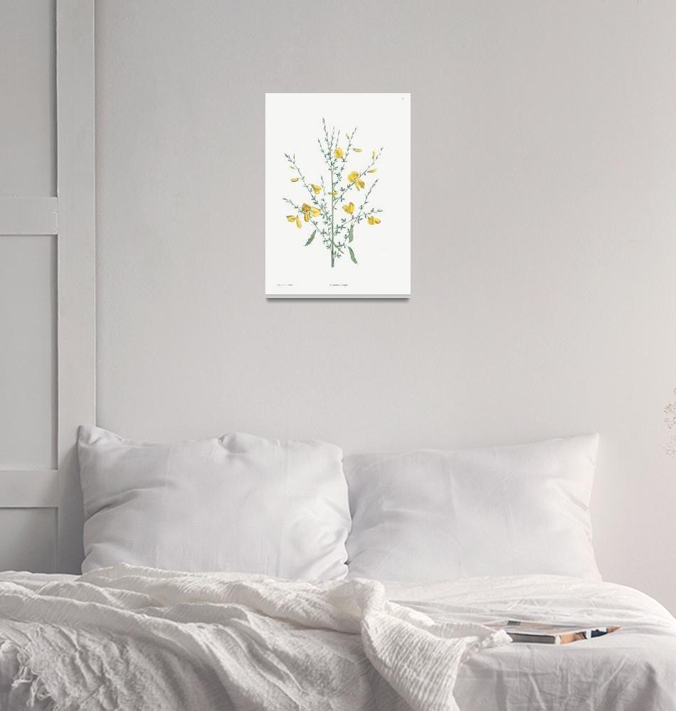 """Broom Flower Vintage Botanical""  by FineArtClassics"
