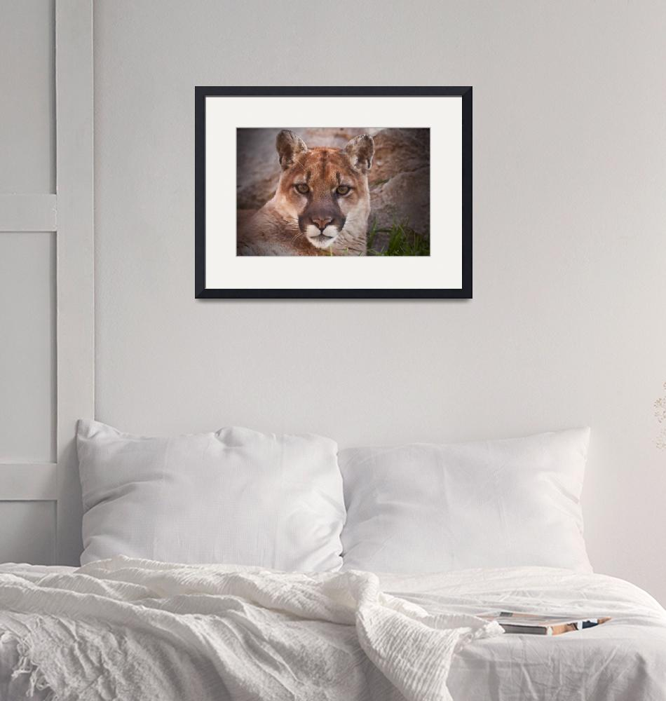"""""""Mountain Lion Illustration""""  (2010) by SederquistPhotography"""