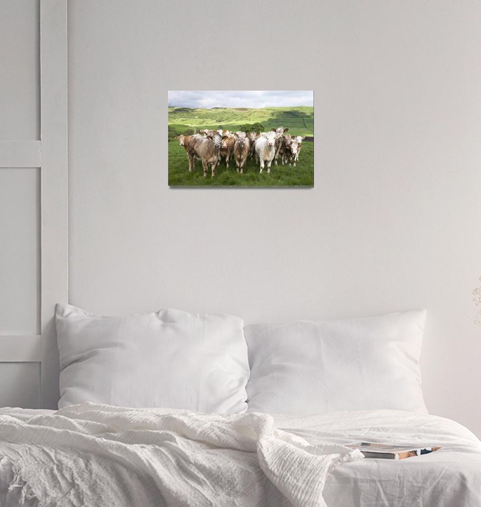 """Dairy Cattle, Derbyshire, England""  by DesignPics"