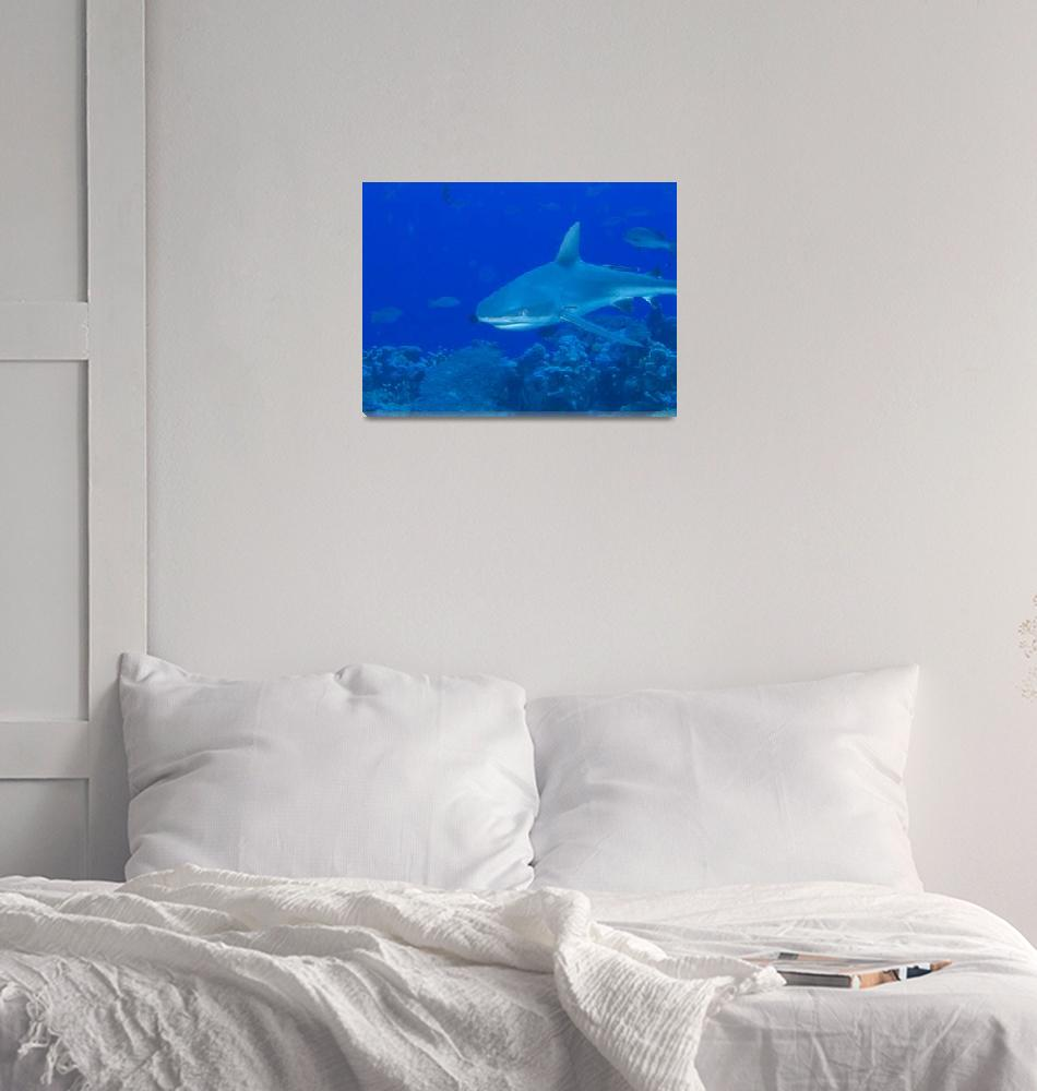 """Gray Reef Shark""  (2009) by Mac"