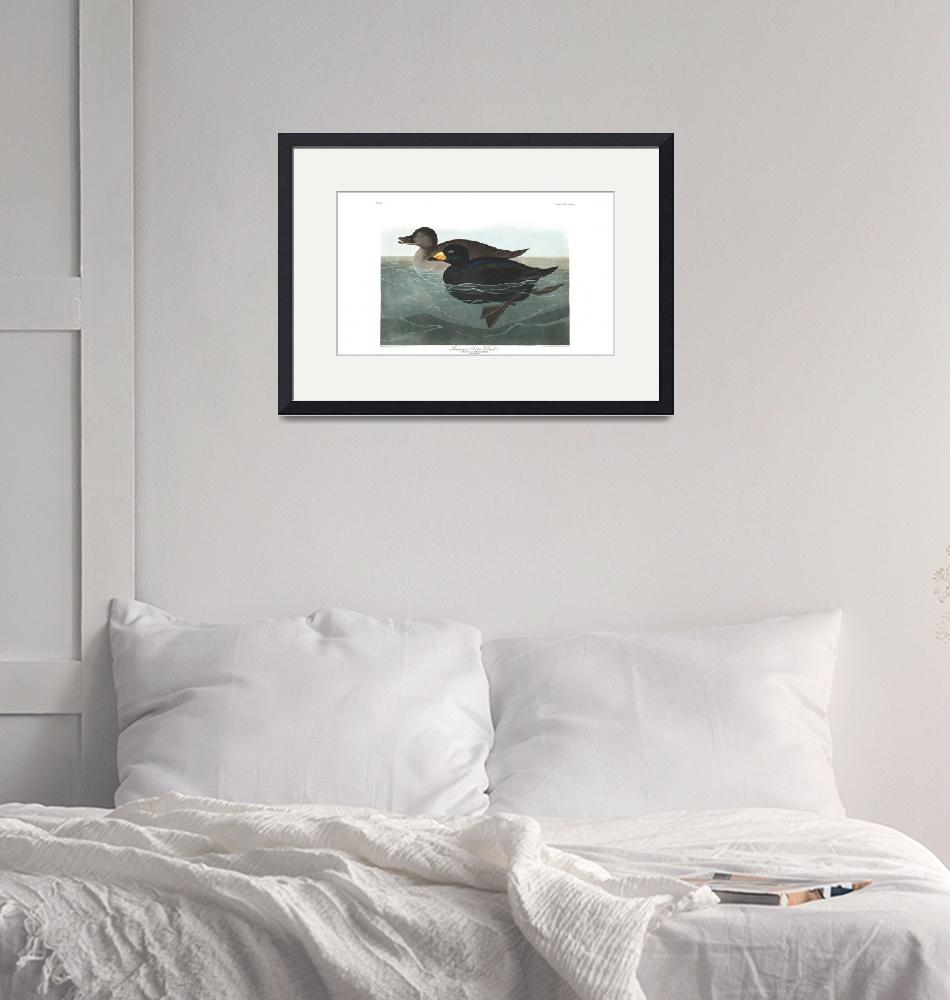 """""""American Scoter Duck, Plate 408"""" by FineArtClassics"""