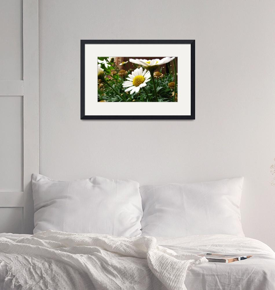"""""""Daisies in bloom""""  (2007) by robphillips"""