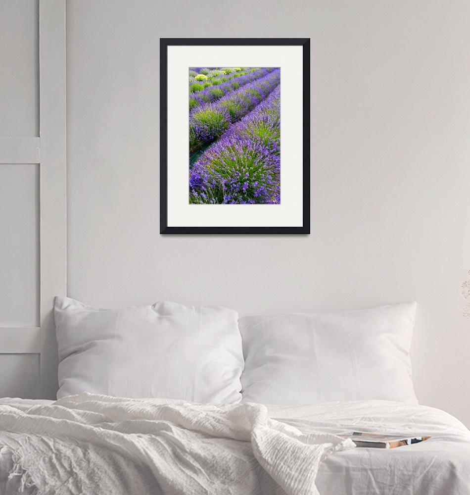 """""""Lco056-3 Lavender fields III""""  (2018) by Williamcastner"""