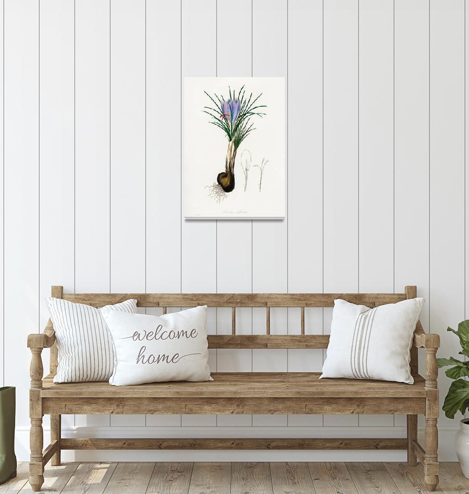 """""""Vintage Botanical Saffron crocus""""  by FineArtClassics"""