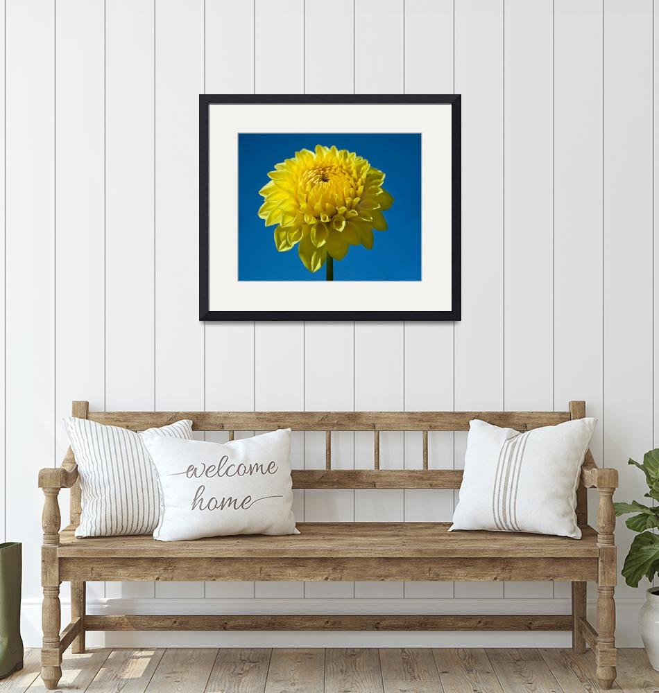"""Yellow Dahlia and Blue Sky""  (2009) by staceylynnpayne"