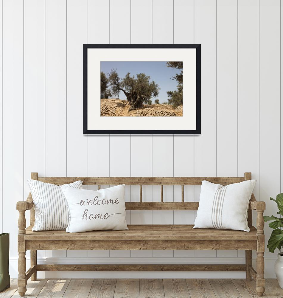 """Ancient Olive Tree at Tel Hebron""  by DavidWilder-Hebron"