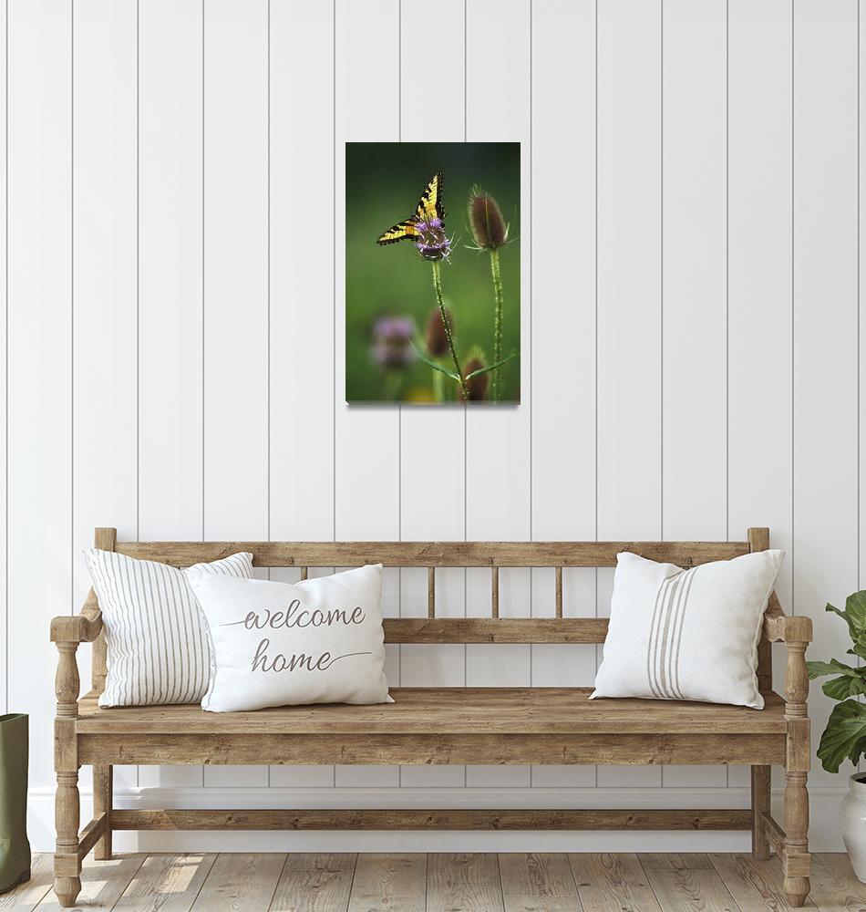 """Tiger Swallowtail 1V185"" by jimcrotty"