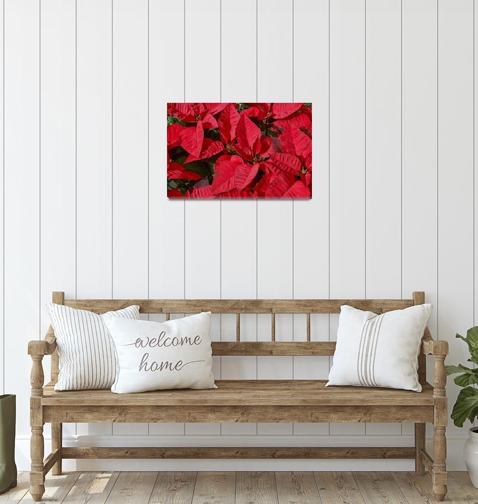 """""""Poinsettias""""  (2007) by PaulCoco"""