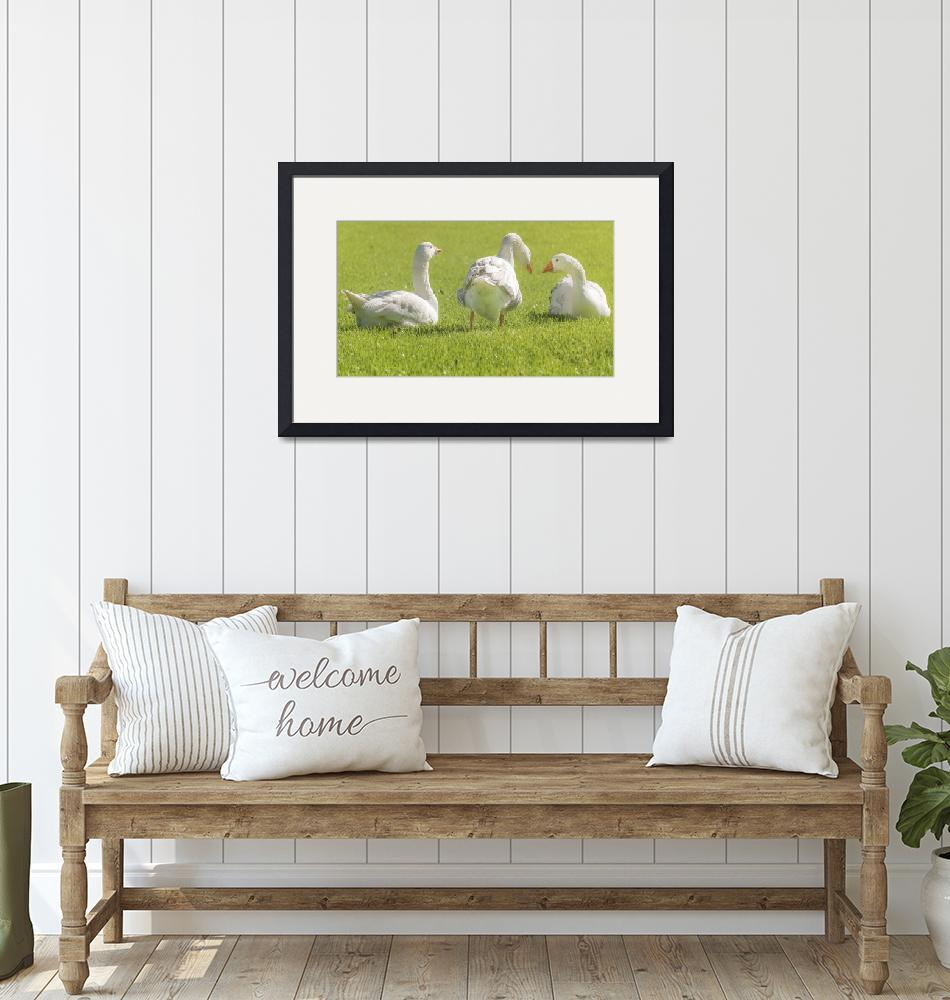 """""""Group of White Geese Resting on the Grass""""  (2015) by danfleitesart"""