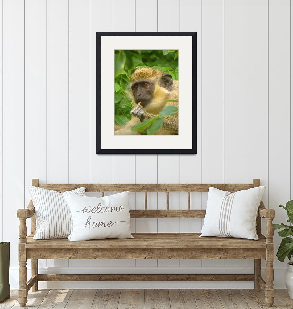 """Wild African Green Vervet Monkey-Caribbean""  (2018) by PixiePea"