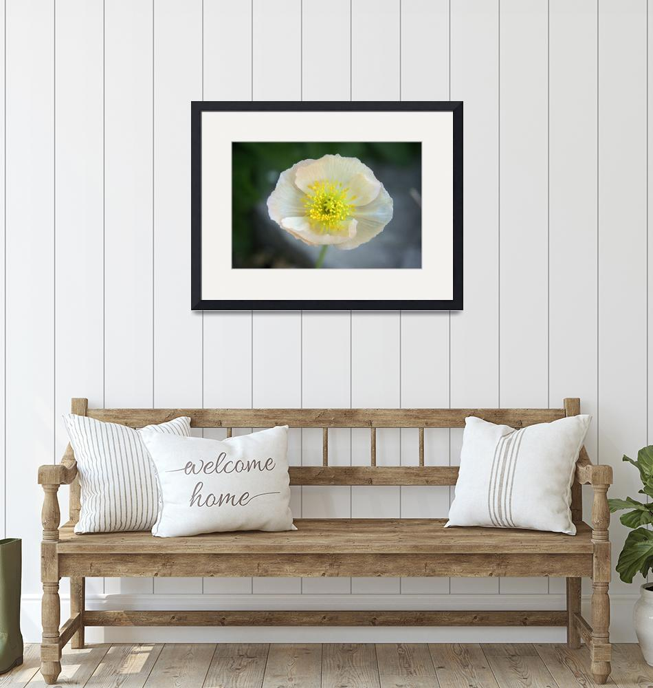 """""""White Poppy""""  by AndreaMoorePhotography"""