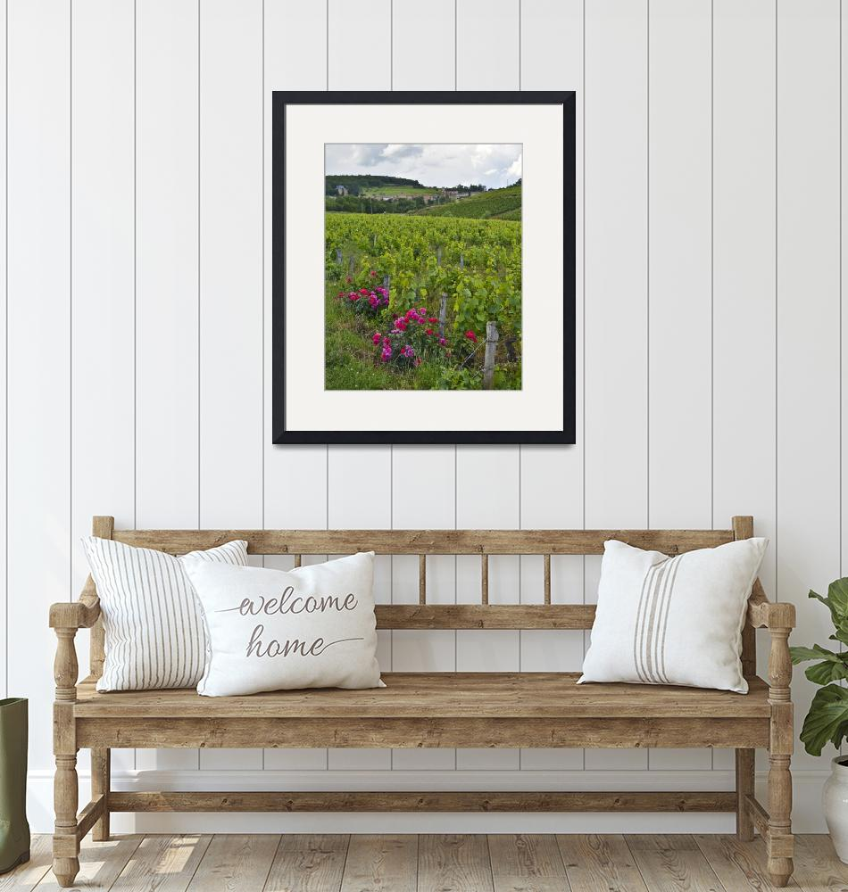 """""""Vineyard with Roses""""  (2012) by awsheffield"""