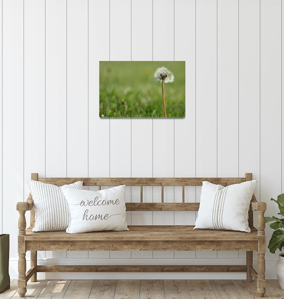 """""""Dandelion Going To Seed""""  (2012) by rhamm"""