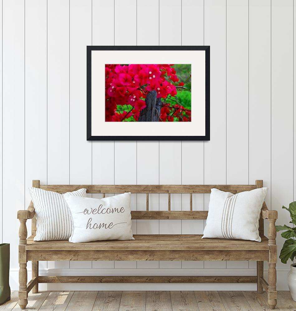 """""""Bougainvillaea on a barbed-wire fence""""  by DavidBleakley"""