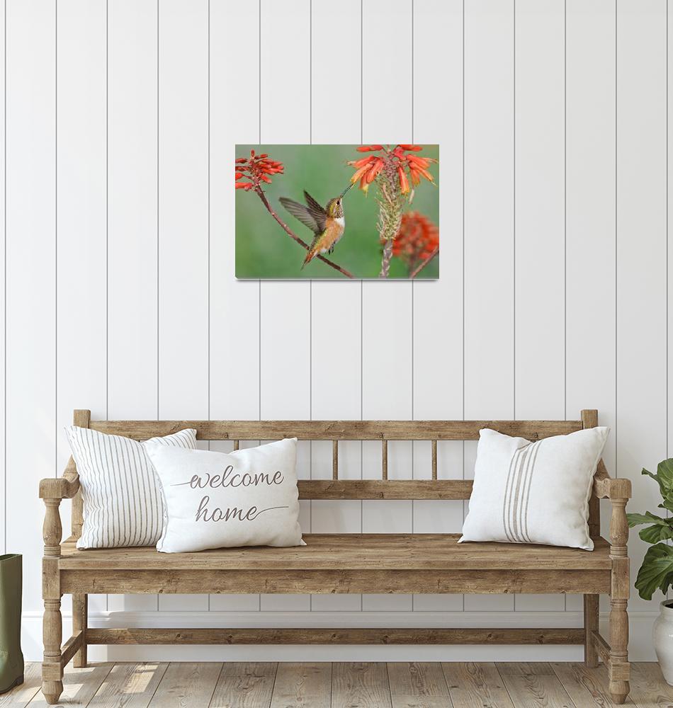 """Rufous Hummingbird in flight""  by PronghornPix"