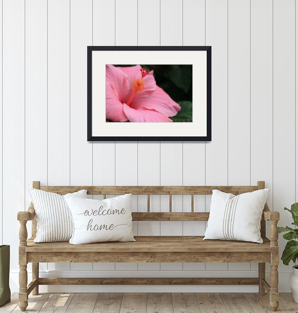 """""""pink hibiscus""""  by JSphotography"""