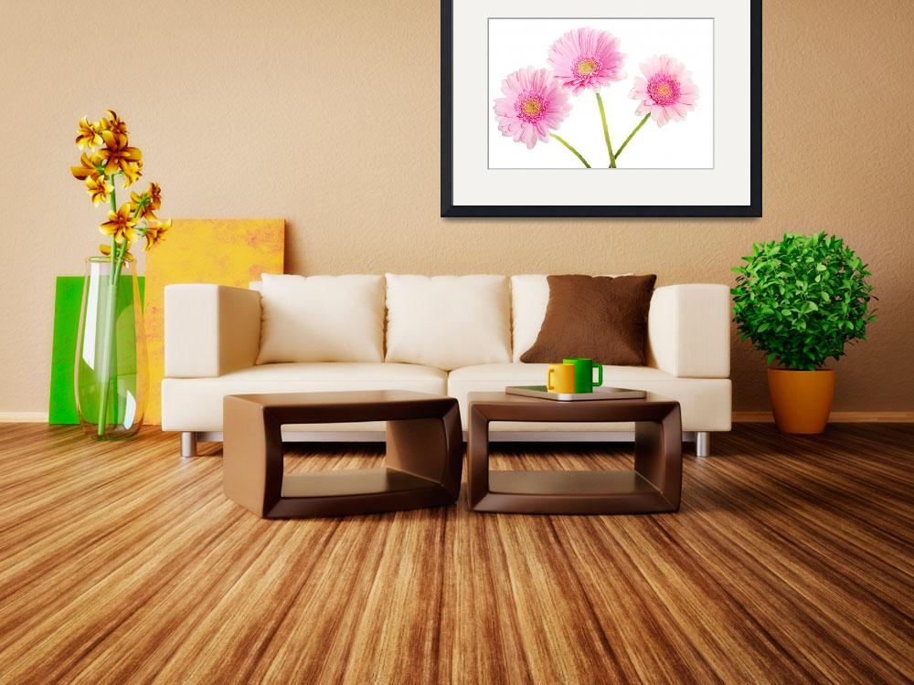 """""""A bouquet of three pink gerbera flower. Isolated o&quot  by Piotr_Marcinski"""