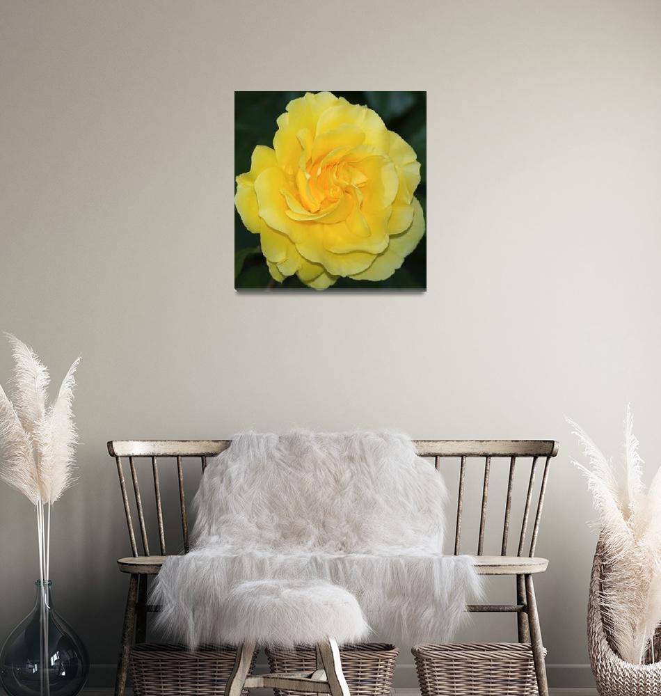 """Sparkle & Shine Rose""  by GlennFrancoSimmons"