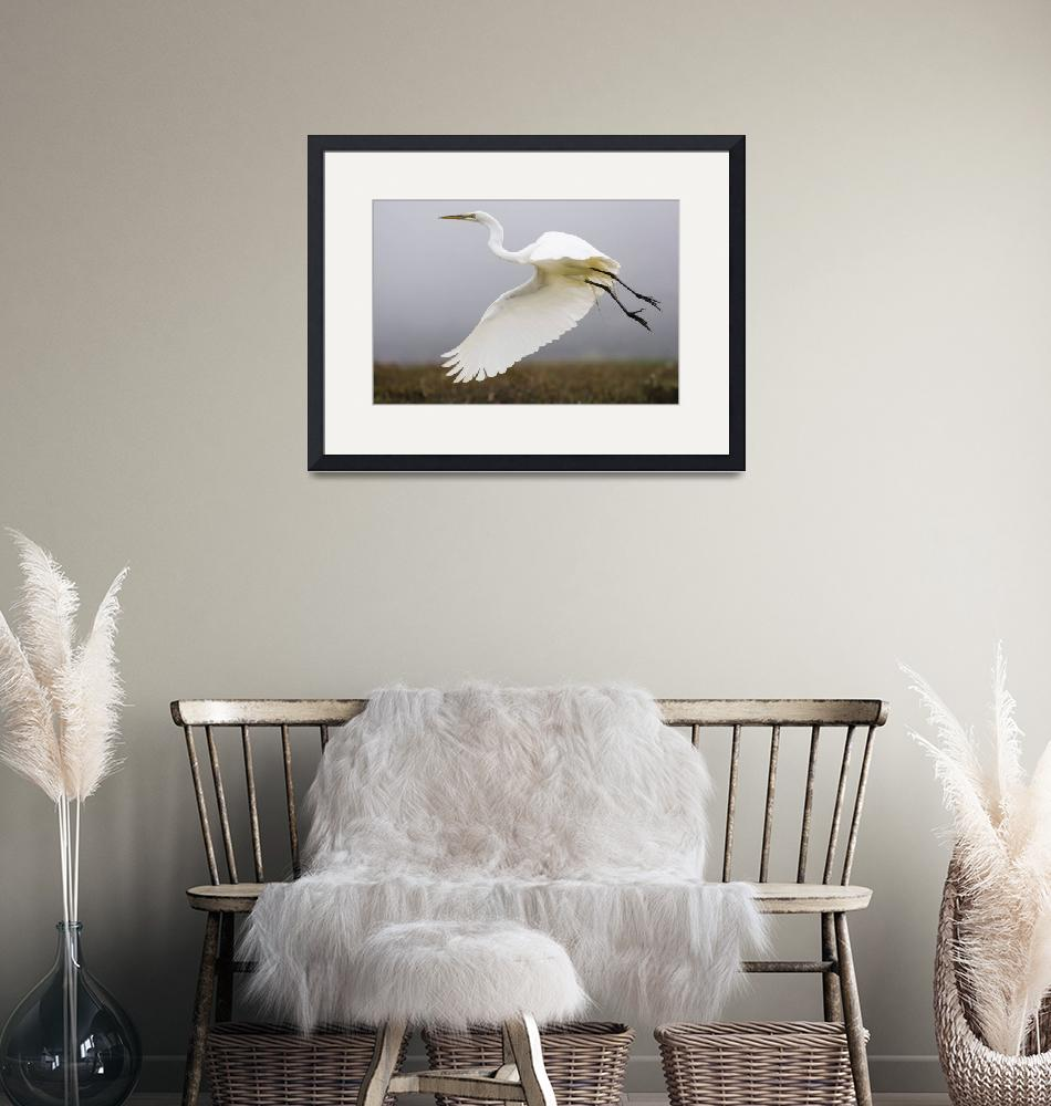 """""""Great Egret (Ardea alba), great-egret_MG_5189""""  by mikebaird"""